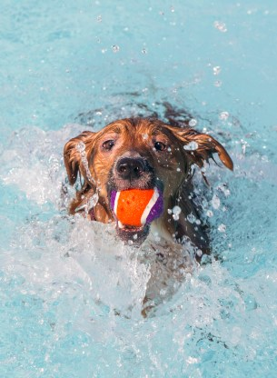 This pooch enjoyed chasing the tennis ball in Cindy Hallaran Pool during Doggie Day at the Pool in August.