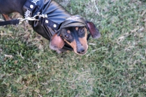 A young pooch is decked out in his finest for the annual Weiner Dog races at the Wolf Pen Creek Amphitheater.