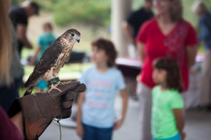A trained falcon was part of the festivities at the grand opening of the Lick Creek Park Nature Center in October.